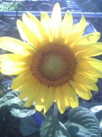 i-freebird Shery K. Sartin -Sunflower